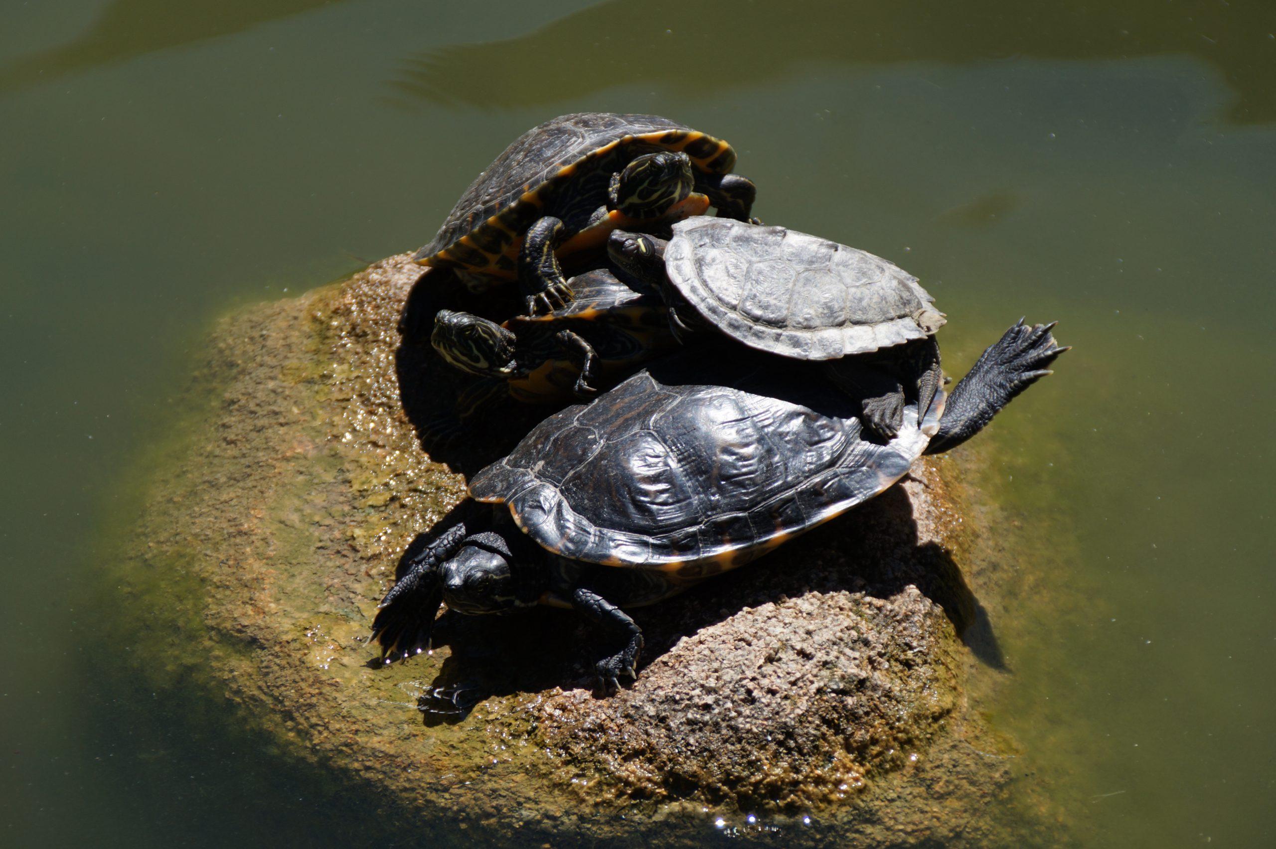 Tortoises, Gulbenkian Garden, Lisbon, Portugal