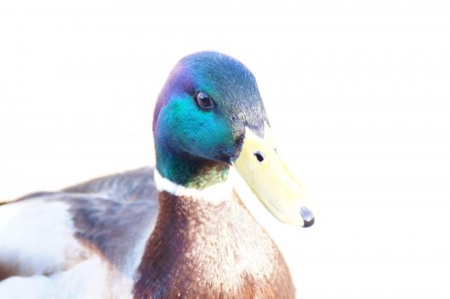 Open minded duck in Kew Gardens in London.