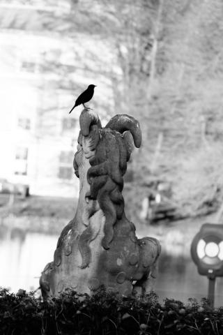 Brave blackbird in Kew gardens, London