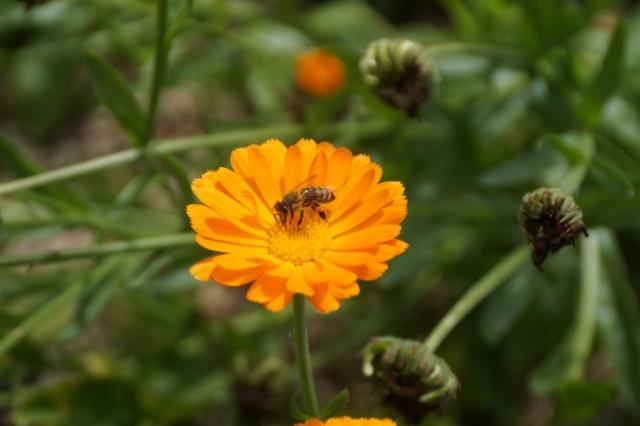 Honey bee at work on Calendula.